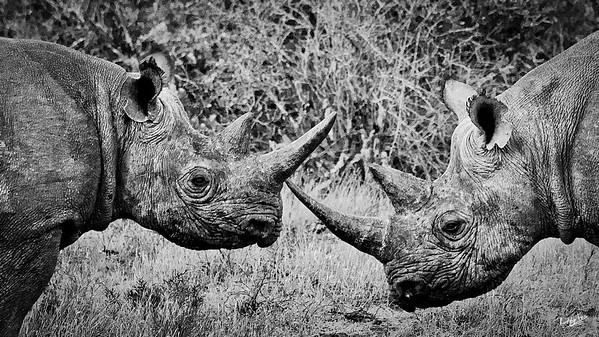 Black Rhino Cow and Calf, Kwandwe