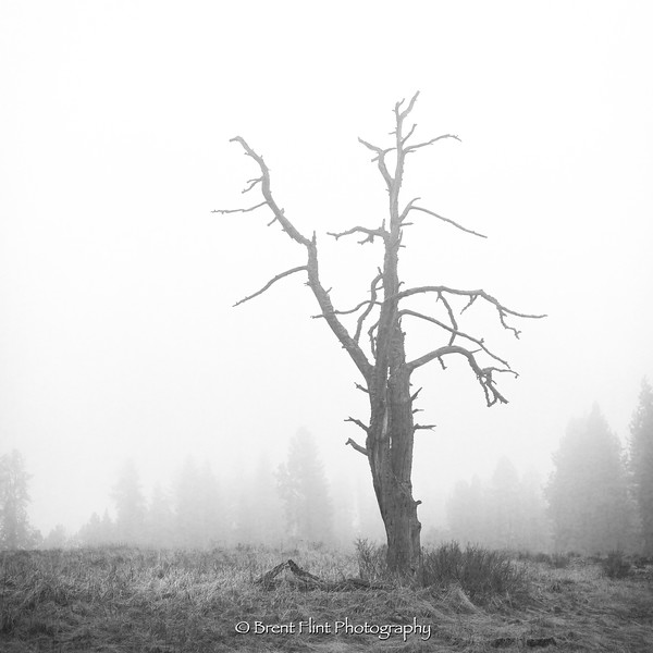 S.5192 - Old snag in fog, Turnbull National Wildlife Refuge, WA.