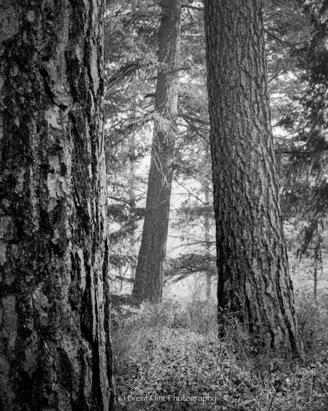 S.5239 - Ponderosa pine trunks, Liberty Lake County Park, WA.