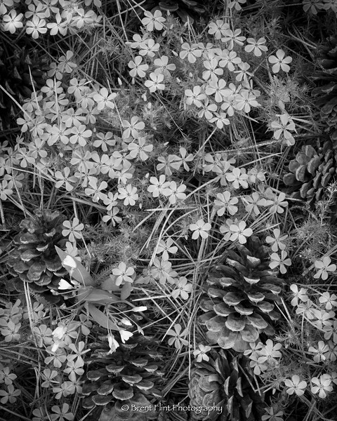 DF.5091 - Spring beauties, mountain phlox, and ponderosa pine cones, Bonner County, ID.