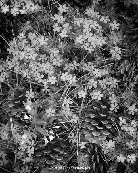 DF.5091 - Spring beauties, mountain phlox, and ponderosa pine cones, Bonner County, ID.