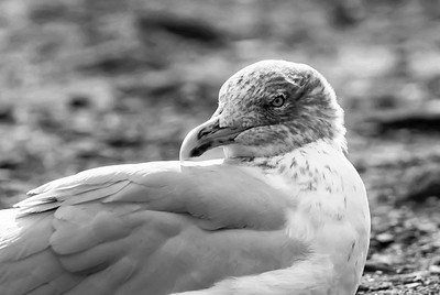 Black and White Bird Close Up
