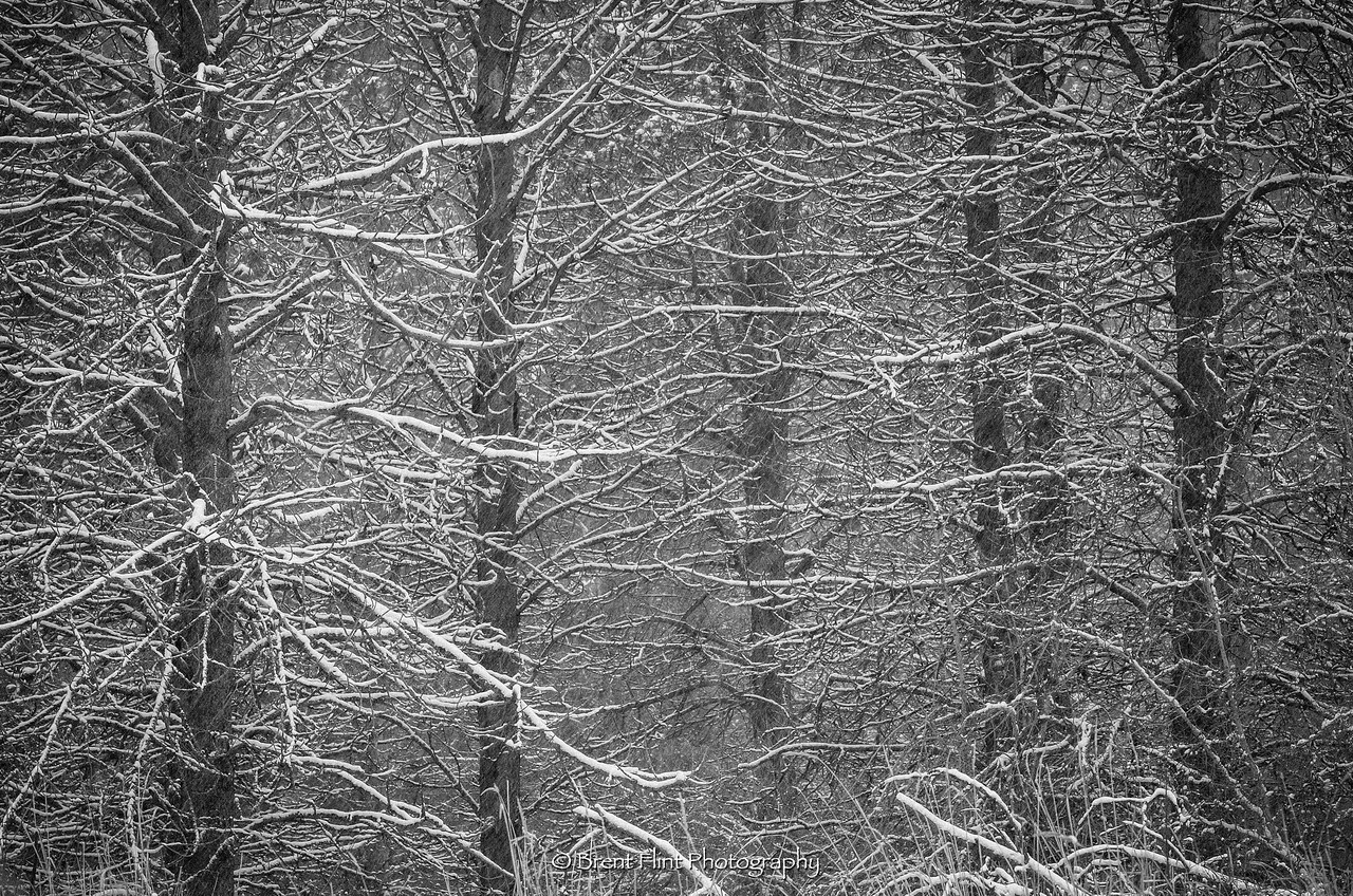 DF.4453 - dead pines during snowstorm, Liberty Lake County Park, WA.
