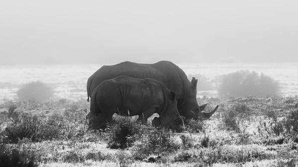 White Rhinos, Amakhala