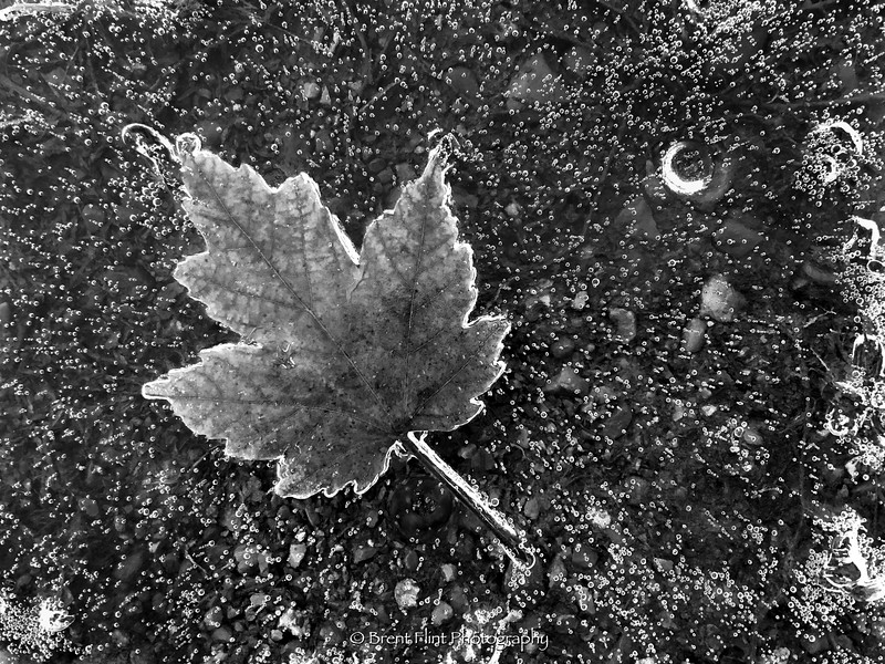 DF.5033 - maple leaf in ice with ice bubbles, Spokane County, WA.