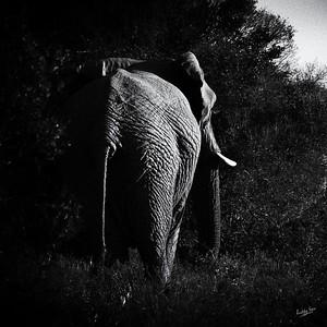 Elephant Catching the Last Light at Amakhala Woodbury