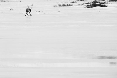Barren Ground caribou near the Dempster Highway in Yukon, Canada.