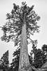 Ponderosa tree
