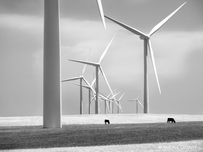 Windmills with cows 2