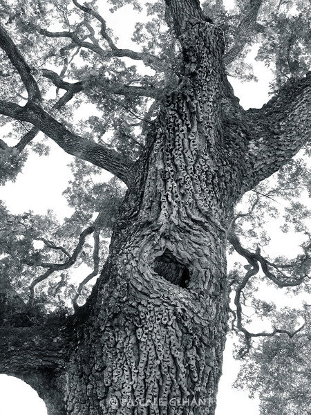 Grandpa oak tree