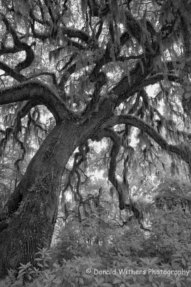 Dancing Oak