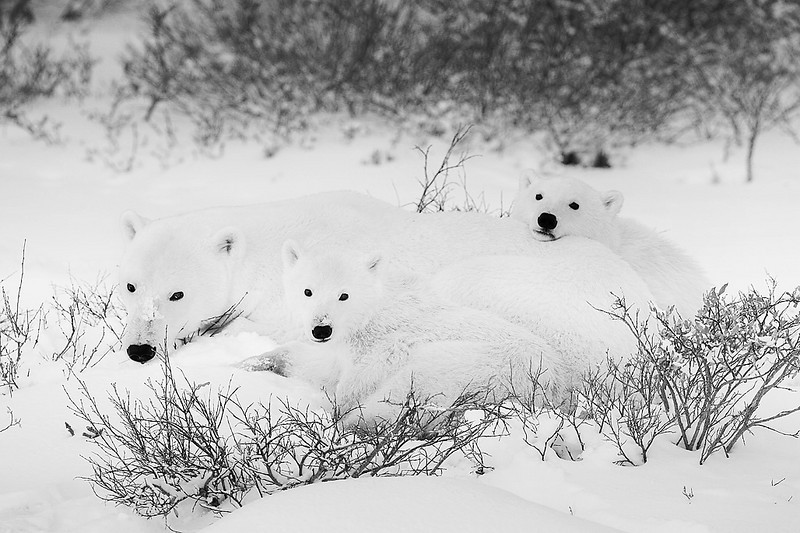 Polar Bear Family. Churchill. John Chapman.
