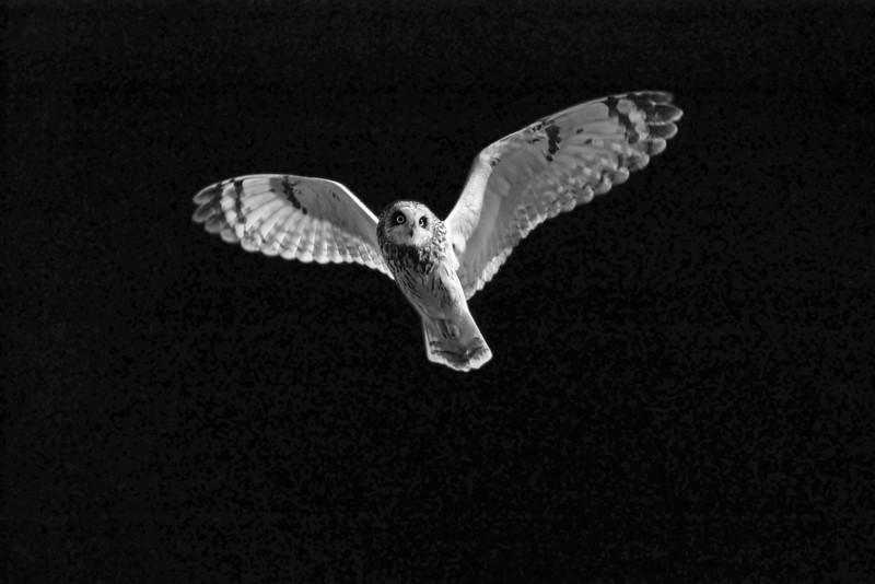 Short Ear Owl. John Chapman.