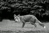 Red Fox, in my garden. Pic. in the local Newspaper. John Chapman.