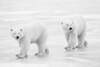John Chapman. Polar Bears.