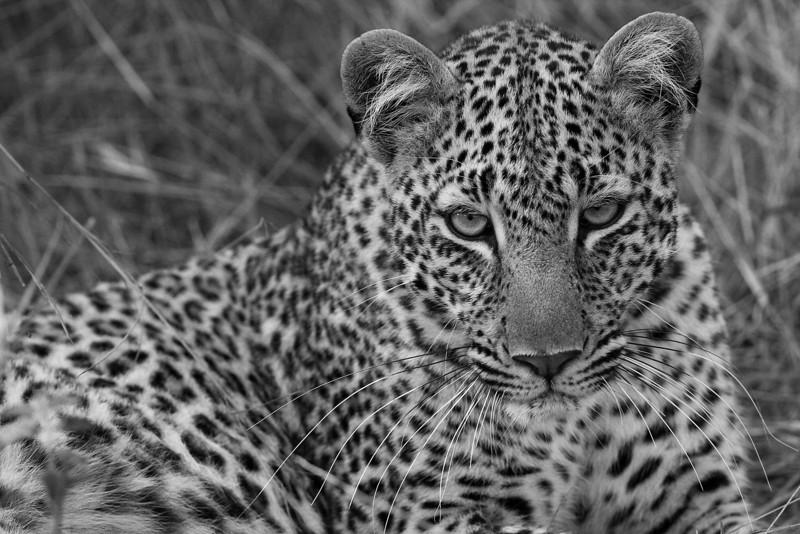 Leopard. John Chapman.