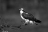 Osprey. John Chapman.