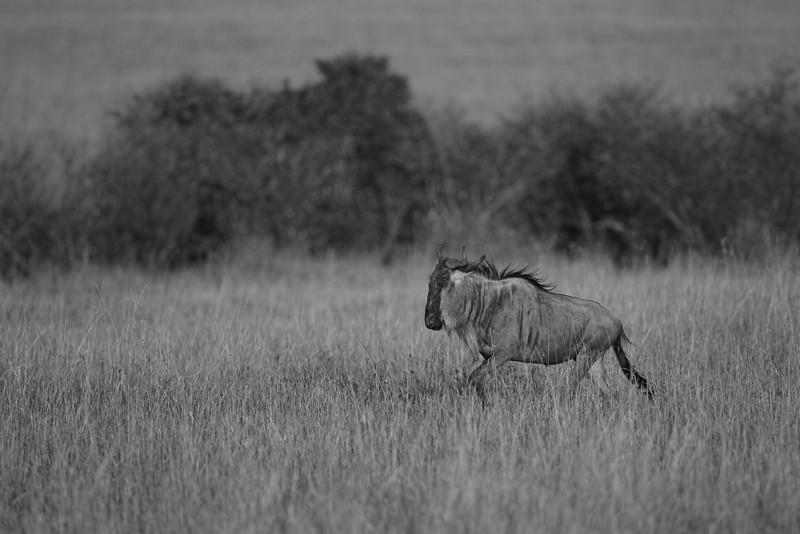 Wildebeest. John Chapman.
