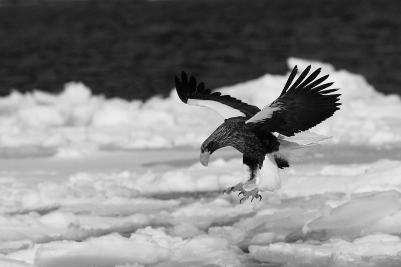 Steller's Eagle.
