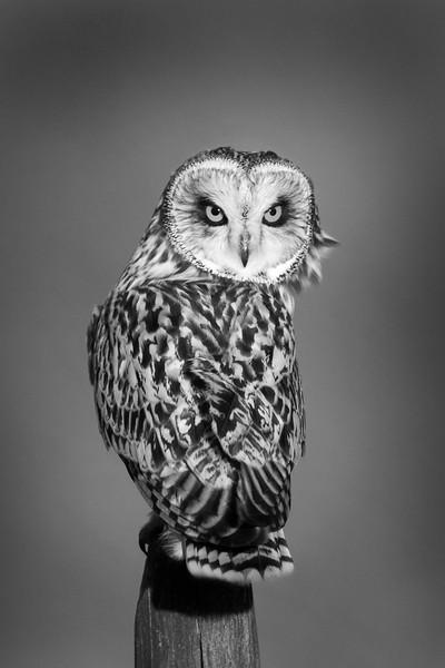 Short Eared Owl. John Chapman.