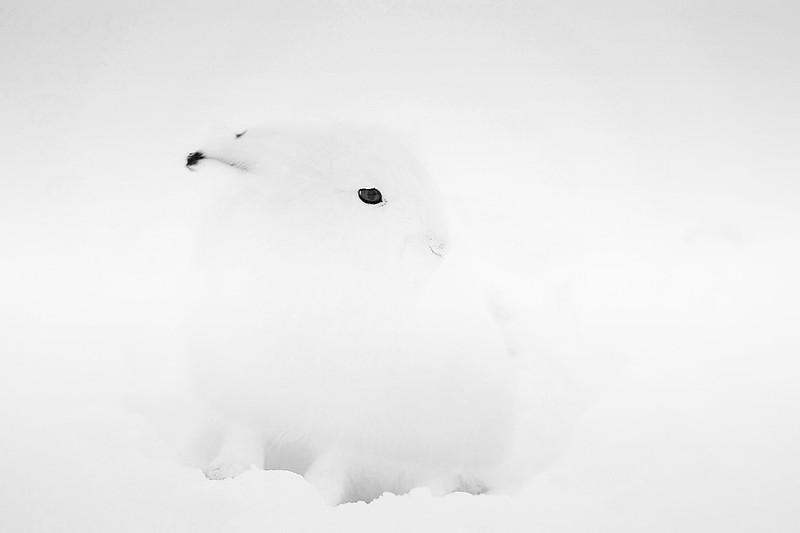 Arctic Hare. John Chapman.