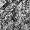 Leopard Stare