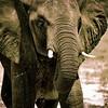 Angry Elephant II