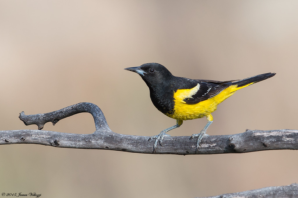 Scott's Oriole, Icterus parisorum