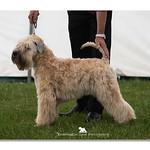 Puppy Dog - 1st & Best Puppy In Breed
