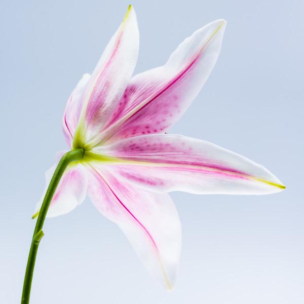 Starfighter Lily