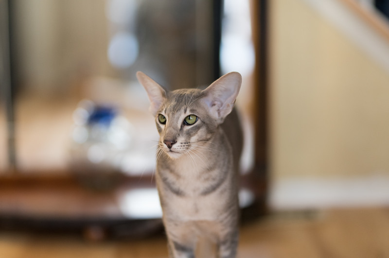 Blue, Our Younger Oriental Shorthair