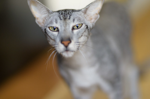 Maui, Our Oriental Shorthair