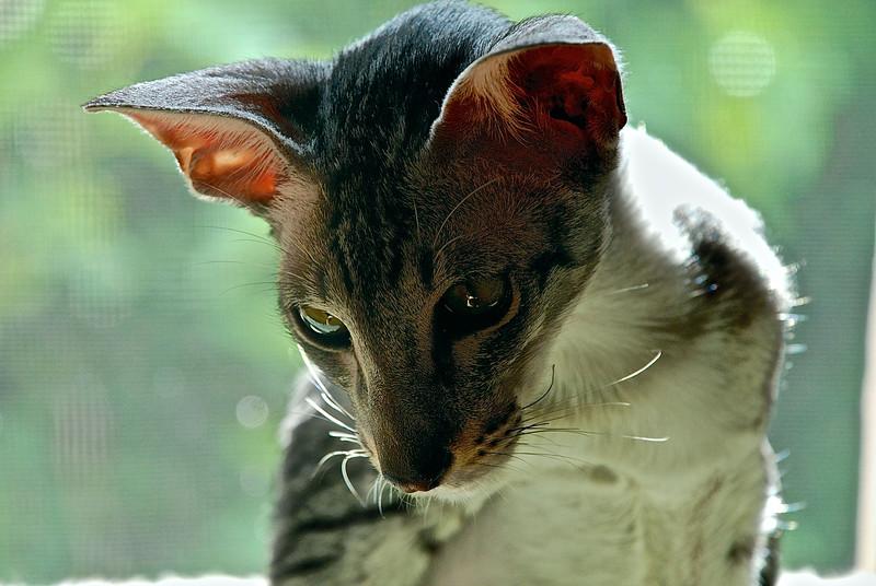 Maui, ebony-spotted Oriental Shorthair, born July 2013