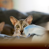 Maui, our older Oriental Shorthair, with Blue getting ready to doze in the background