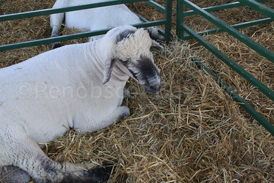 WP-BH-Fair-sheep-090816-ML
