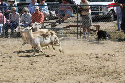 WP-BHF-sheep-dog-trials-sheep-three-090816-AB