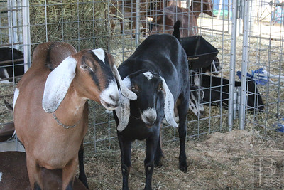 WP-BH-Fair-goats-090816-ML
