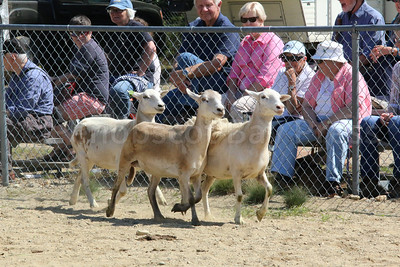 WP-BHF-sheep-dog-trialssheep-four-090816-AB