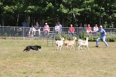 WP-BHF-sheep-dog-trials-sheep-two-090816-AB