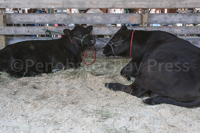 WP-BH-Fair-cows-090816-ML