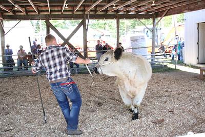 WP_BH_Fair_animals_cow_contest_090618_AB