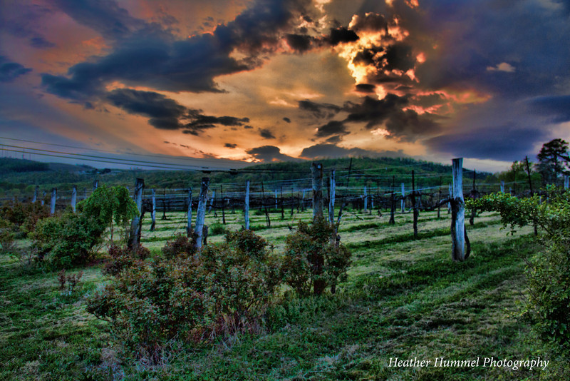 Jefferson Vineyard Sunset