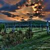 Jefferson Vineyard Sunset