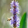 Honeybee & Pickerelweed