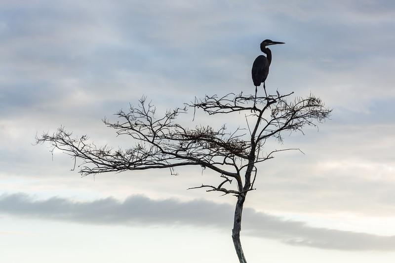 Zen Blue Heron