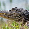 """North American Alligator"""