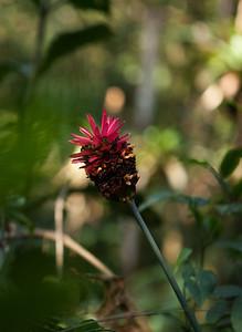 Calathea sp. (Marantaceae), Tintaya Plot, Madidi, Bolivia