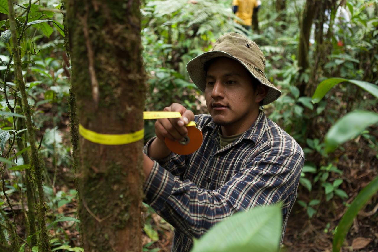 Diameter Measurement, Tintaya Plot, Madidi, Bolivia. Pictured: Daniel Alanes