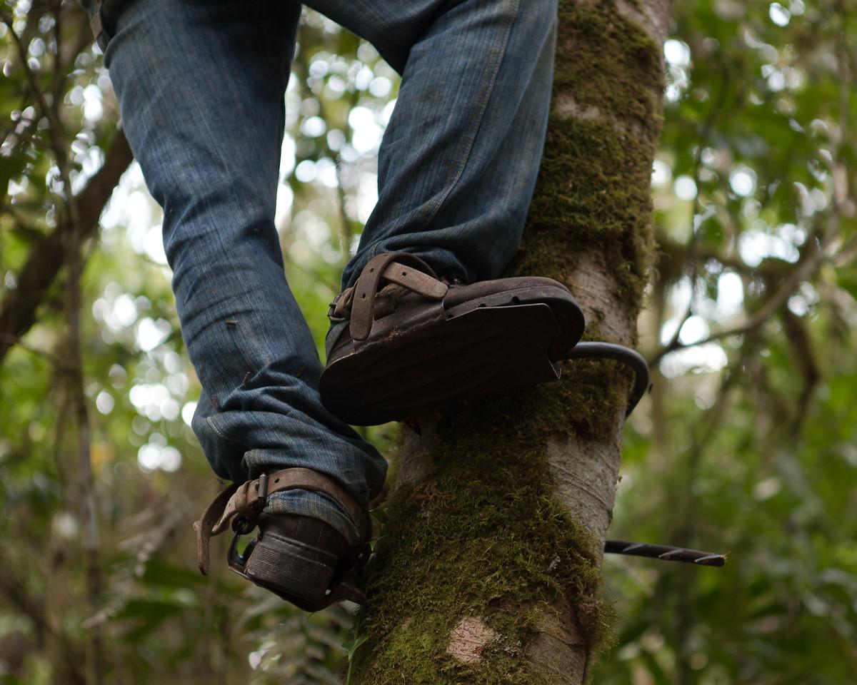 Tree Climbing, Tintaya Plot, Madidi, Bolivia