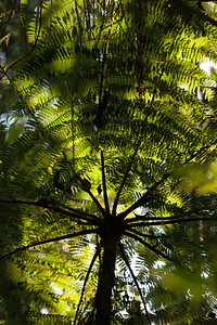 Tree Fern, Tintaya Plot Expedition, Madidi, Bolivia